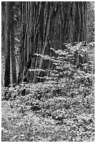 Dogwood leaves and sequoia trunk in autum. Sequoia National Park ( black and white)