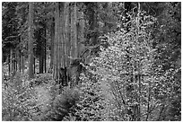 Dogwoods in autumn foliage and sequoia grove. Sequoia National Park ( black and white)
