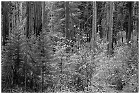 Dogwoods in autumn foliage and sequoia forest. Sequoia National Park ( black and white)