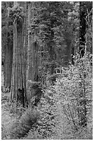 Dogwoods in fall foliage and sequoia trees. Sequoia National Park ( black and white)
