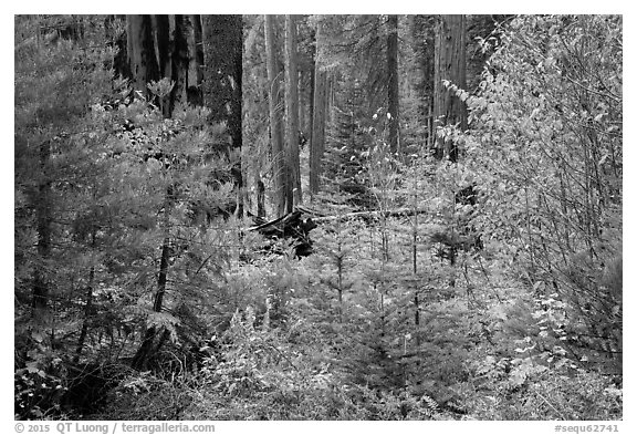 Dogwoods in fall foliage and sequoia forest. Sequoia National Park (black and white)