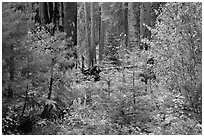 Dogwoods in fall foliage and sequoia forest. Sequoia National Park ( black and white)