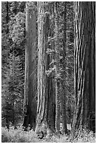 Sequoia trees in autumn. Sequoia National Park ( black and white)
