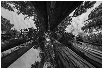 Looking up Parker Group of sequoia trees. Sequoia National Park ( black and white)