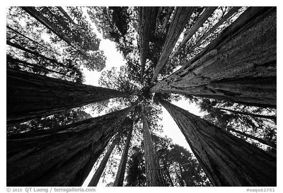 Looking up grove of sequoia trees, Giant Forest. Sequoia National Park (black and white)