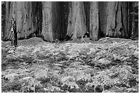 Ferms in autumn colors and grove of giant sequoias. Sequoia National Park ( black and white)