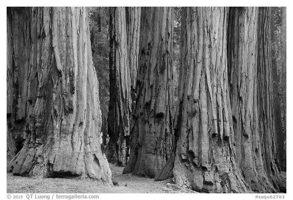 Senate group of sequoia trees. Sequoia National Park (black and white)