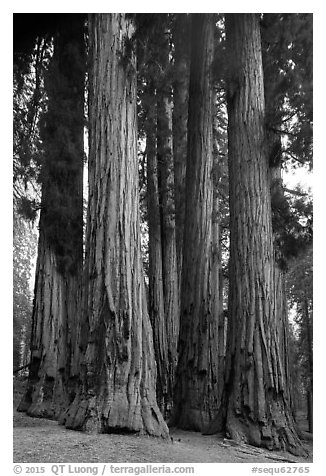 Senate Group. Sequoia National Park (black and white)