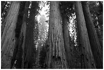 Senate Group of sequoia trees in rain. Sequoia National Park ( black and white)