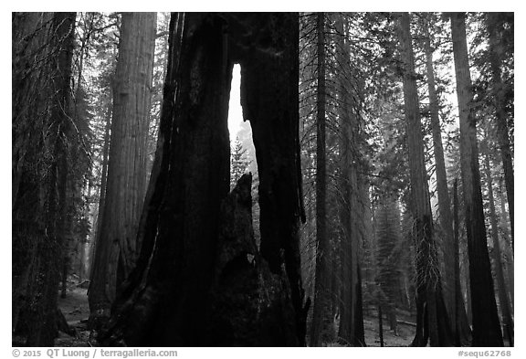 Hollowed sequoia tree, Giant Forest. Sequoia National Park (black and white)