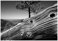 Downed tree on top of El Capitan. Yosemite National Park, California, USA. (black and white)