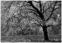Elm Tree in autumn, Cook meadow. Yosemite National Park, California, USA. (black and white)