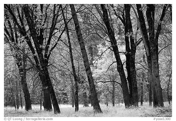 Oaks in fall in El Capitan meadow. Yosemite National Park (black and white)