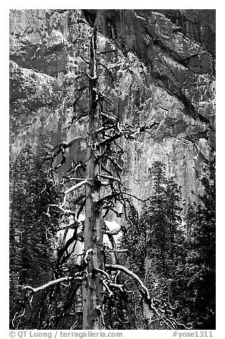 Tree in El Capitan meadows and Cathedral Rocks cliffs, winter. Yosemite National Park (black and white)