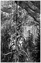 Tree in El Capitan meadows and Cathedral Rocks cliffs, winter. Yosemite National Park ( black and white)