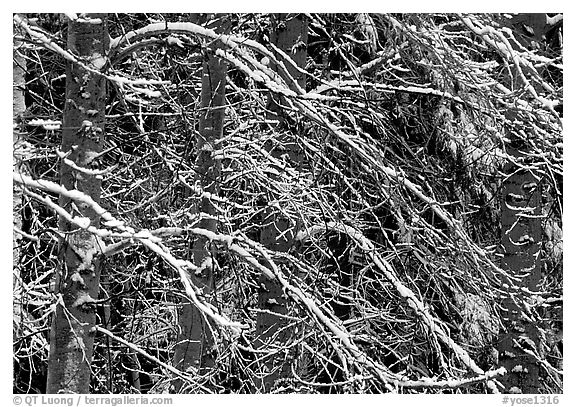 Diagonal pattern of snowy branches. Yosemite National Park (black and white)