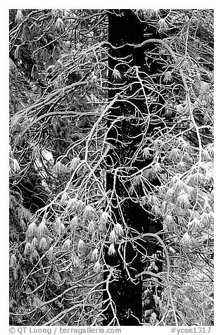 Tree with branches covered by snow. Yosemite National Park (black and white)