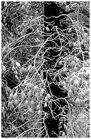 Tree with branches covered by snow. Yosemite National Park ( black and white)