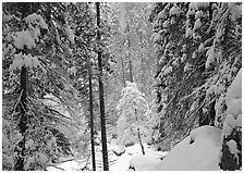 Snowy trees in winter. Yosemite National Park ( black and white)