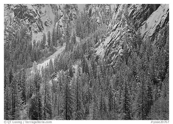 Dry Evergreens and snowy cliff. Yosemite National Park (black and white)
