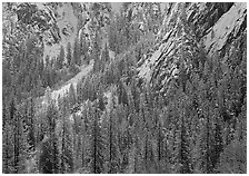 Dry Evergreens and snowy cliff. Yosemite National Park ( black and white)