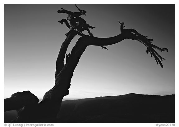Dead Jeffrey Pine on Sentinel Dome, sunset. Yosemite National Park (black and white)