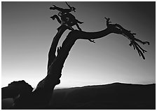 Dead Jeffrey Pine on Sentinel Dome, sunset. Yosemite National Park ( black and white)