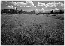 Summer wildflowers and Lembert Dome, Tuolumne Meadows. Yosemite National Park, California, USA. (black and white)