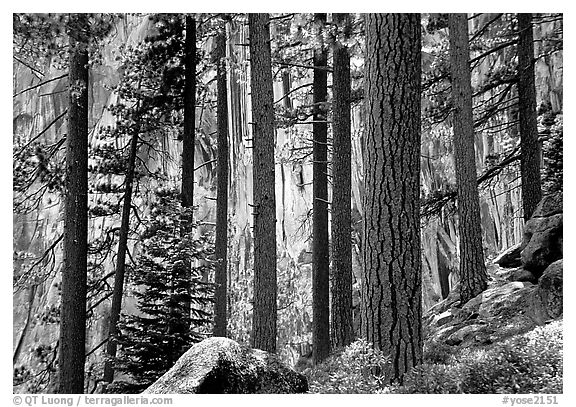 Lodegepole pines and cliff, Yosemite Falls trail. Yosemite National Park (black and white)