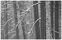 Lodgepole pine trees in winter, Badger Pass. Yosemite National Park, California, USA. (black and white)