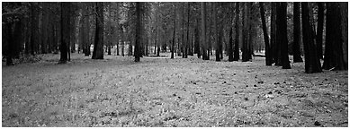 Lupine and burned forest. Yosemite National Park (Panoramic black and white)