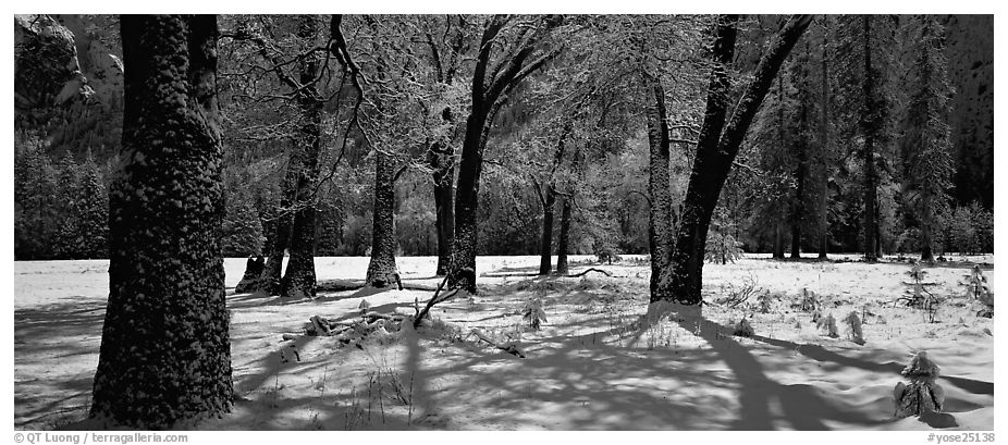 Oak Trees and snow, El Capitan Meadow. Yosemite National Park (black and white)