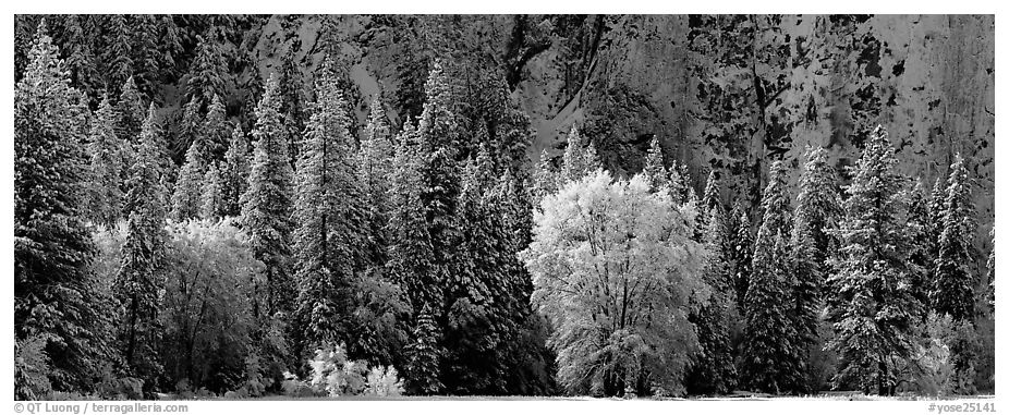 Snowy trees at the base of cliff. Yosemite National Park (black and white)