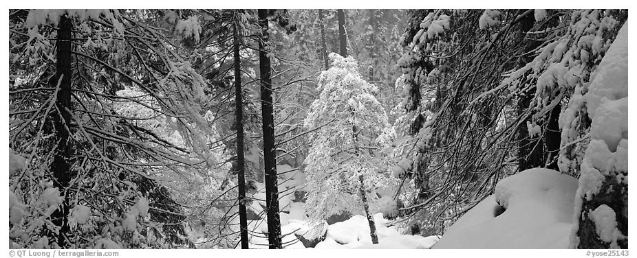 Forest with fresh snow. Yosemite National Park (black and white)