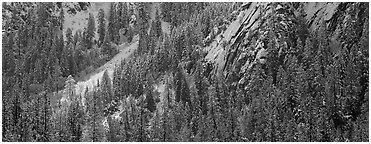 Slopes with trees in winter. Yosemite National Park (Panoramic black and white)