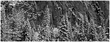 Snow-covered trees and dark cliff. Yosemite National Park (Panoramic black and white)