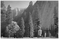 Oaks, pine trees, and rock wall. Yosemite National Park ( black and white)