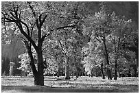 Black oaks with with autumn leaves, El Capitan Meadow, morning. Yosemite National Park, California, USA. (black and white)