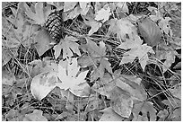 Fallen maple and dogwood leaves, pine needles and cone. Yosemite National Park, California, USA. (black and white)