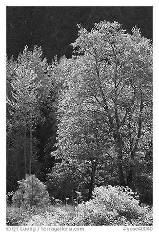 Backlit tree. Yosemite National Park (black and white)