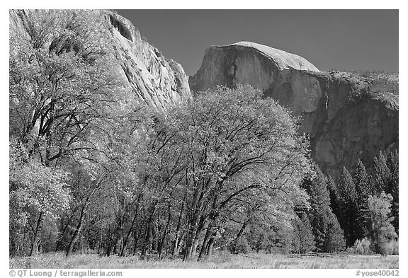 Trees in autumn foliage and Half Dome, Ahwahnee Meadow. Yosemite National Park (black and white)