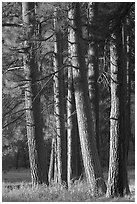 Pine trees, late afternoon. Yosemite National Park, California, USA. (black and white)