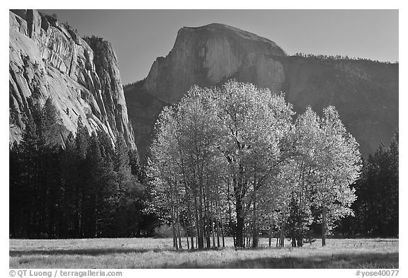 Aspen stand and Half-Dome, morning. Yosemite National Park (black and white)