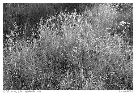 Close-up of grasses in autumn. Yosemite National Park (black and white)