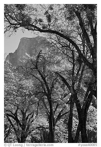 Oak trees and Half-Dome. Yosemite National Park (black and white)
