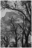 Oak trees and Half-Dome. Yosemite National Park, California, USA. (black and white)