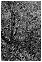 Branches of Elm tree and light. Yosemite National Park, California, USA. (black and white)