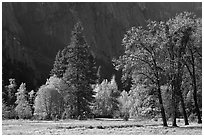 Trees in various foliage stages in Cook Meadow. Yosemite National Park, California, USA. (black and white)
