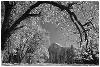 Arched branch with autumn leaves and Half-Dome. Yosemite National Park, California, USA. (black and white)