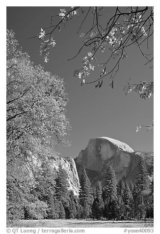 Half-Dome framed by branches with leaves in fall foliage. Yosemite National Park (black and white)